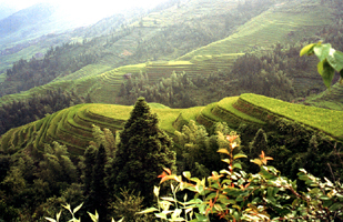 Longji Titian Rice Terraces T