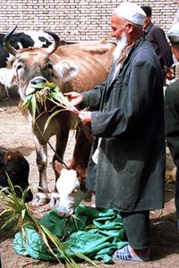 hotan-market-feedina-a-cow.jpg