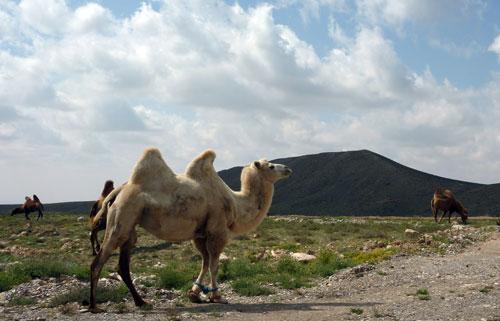 Yinchuan to Bayan Khot  via Guangzong Si Roaming Camels Near Bayan Khot