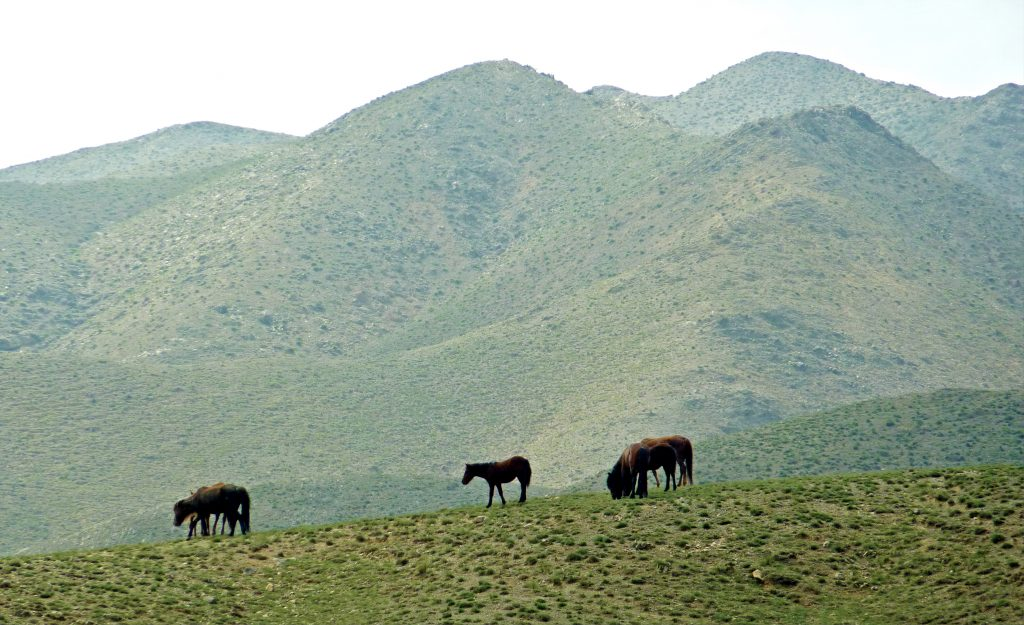 Horses in Ningxia Near the Great Wall