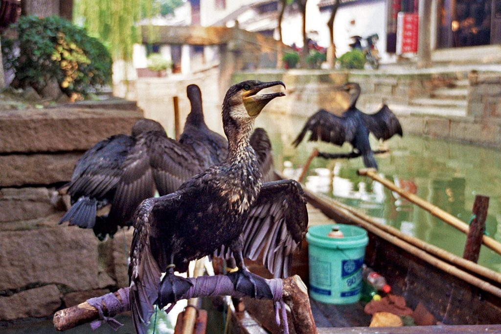 cormorants in Luzhi 甪直 An Authentic Canal Town