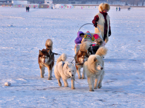 A dog Sleigh is one option for getting around Harbin
