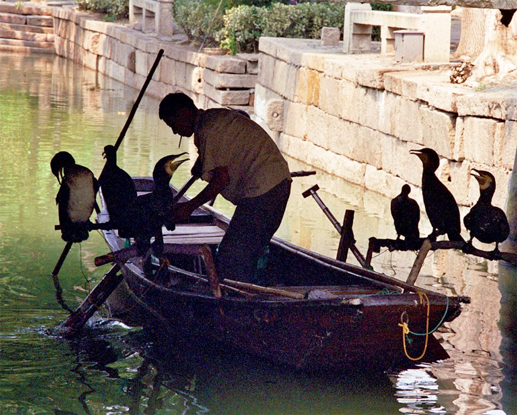 cormorants and the boss THE BEST DAY TRIP FROM SUZHOU  苏州 Luzhi 甪直 An Authentic Canal Town