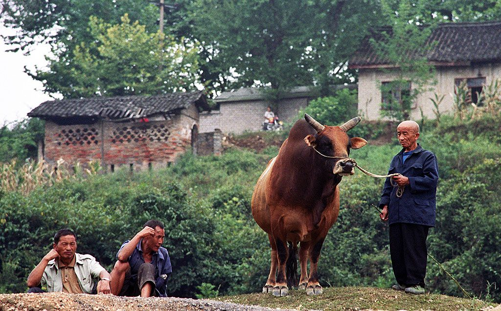 Chinese Bull Fighting in Matang 麻塘革家寨的斗牛: Guizhou Province