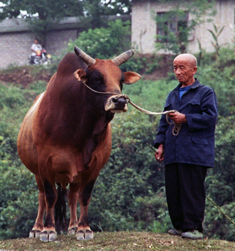 Chinese Bull Fighting in Matang man with his bull Chinese Bull