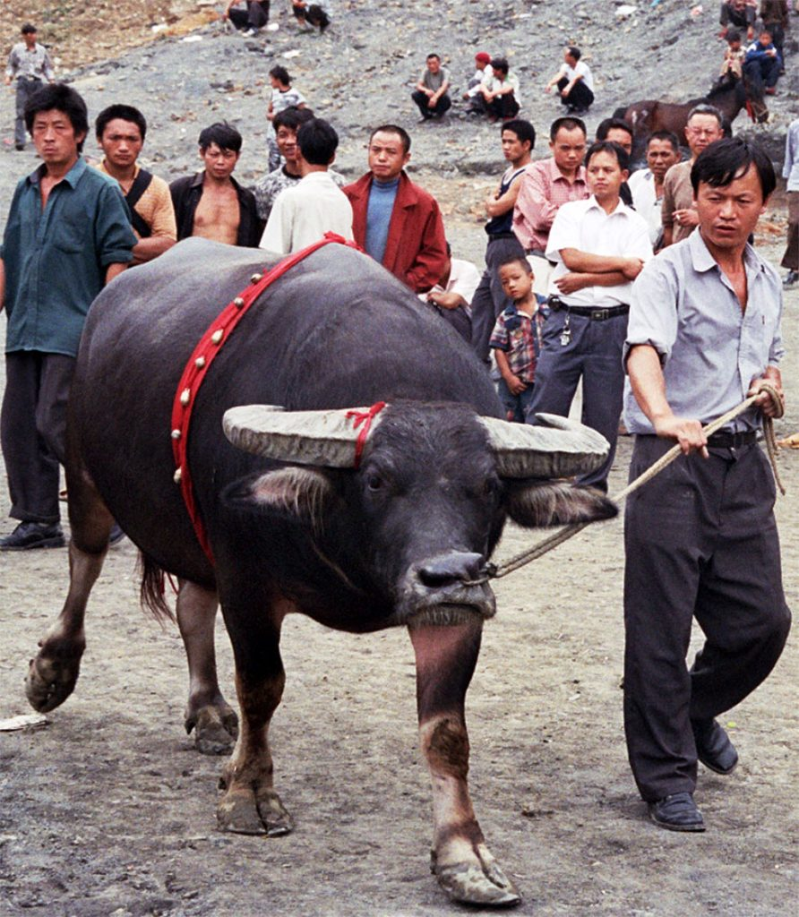 owner with his bull Chinese Bull Fighting in Matang 麻塘革家寨的斗牛: Guizhou Province