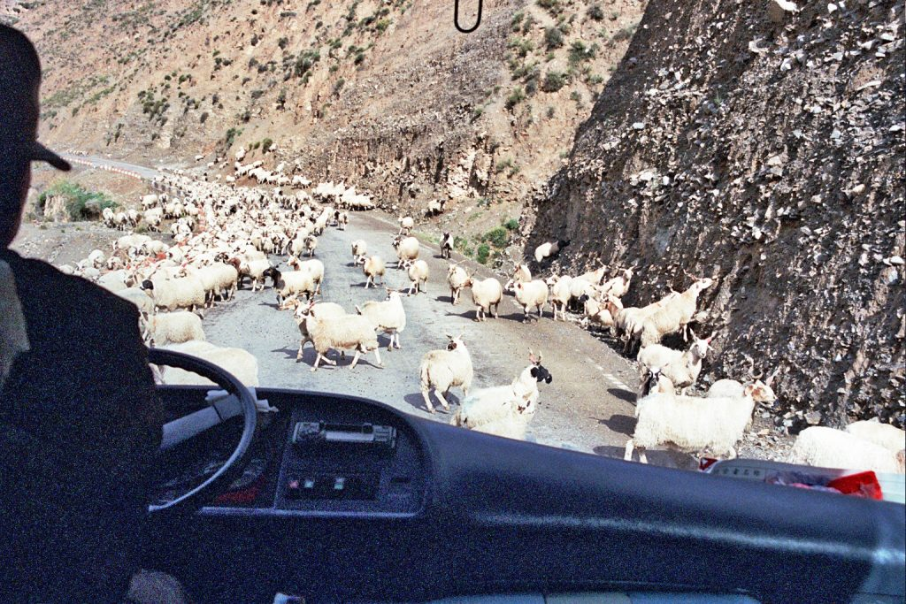 goats blocking the road to tongren qinghai provinve