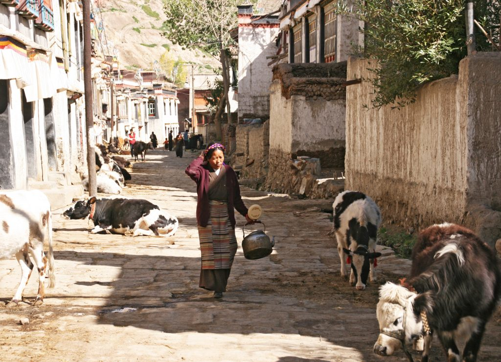 Cows in the streets of gyantse