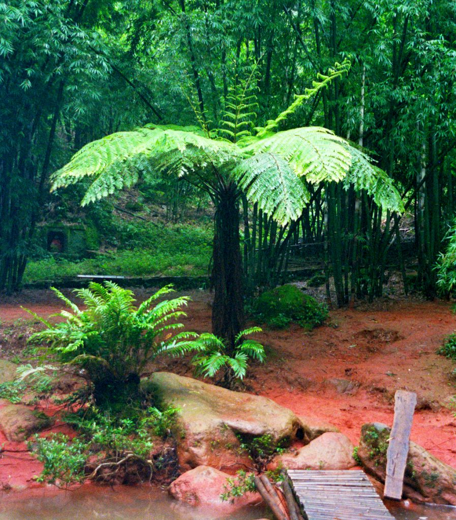 Giant ferns Chishui