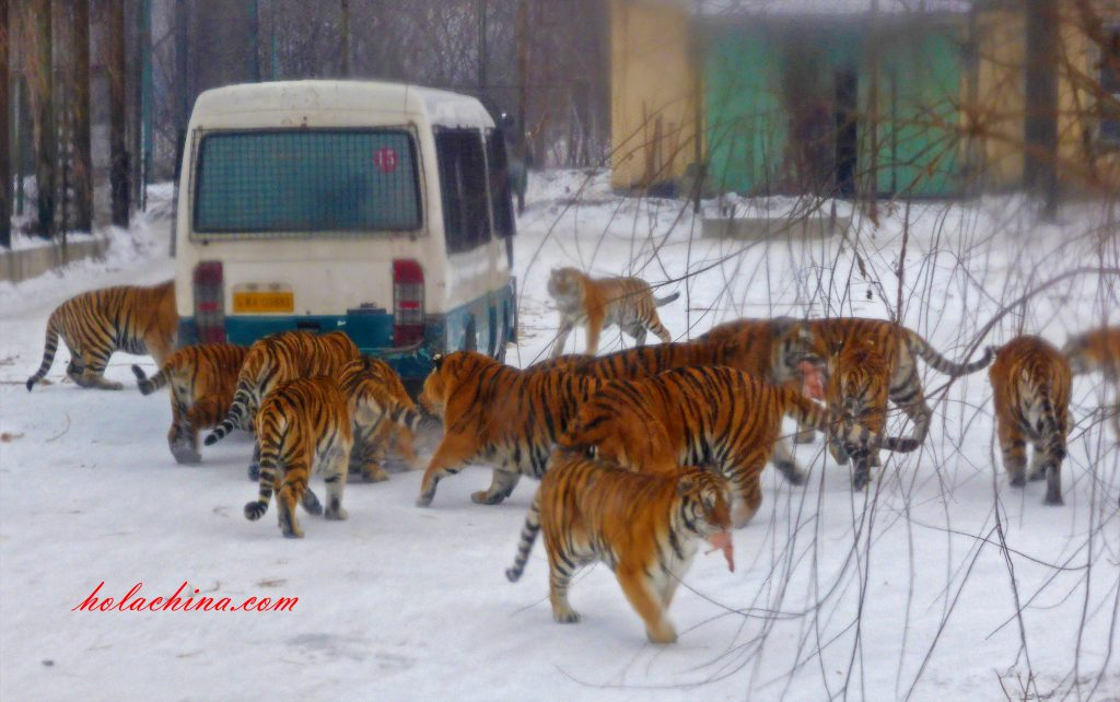 Siberian tigers surrounding a bus Harbin 东北虎林园