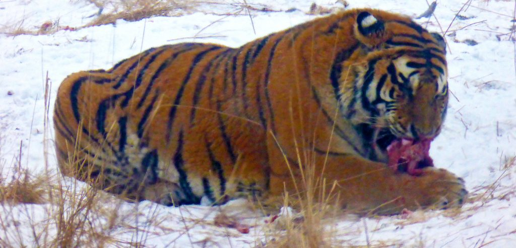 Siberian tiger having lunch in Harbin. 东北虎林园