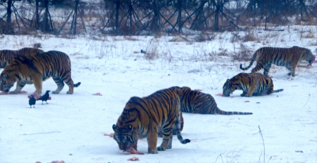 Siberian tigers having lunch in Harbin. 东北虎林园