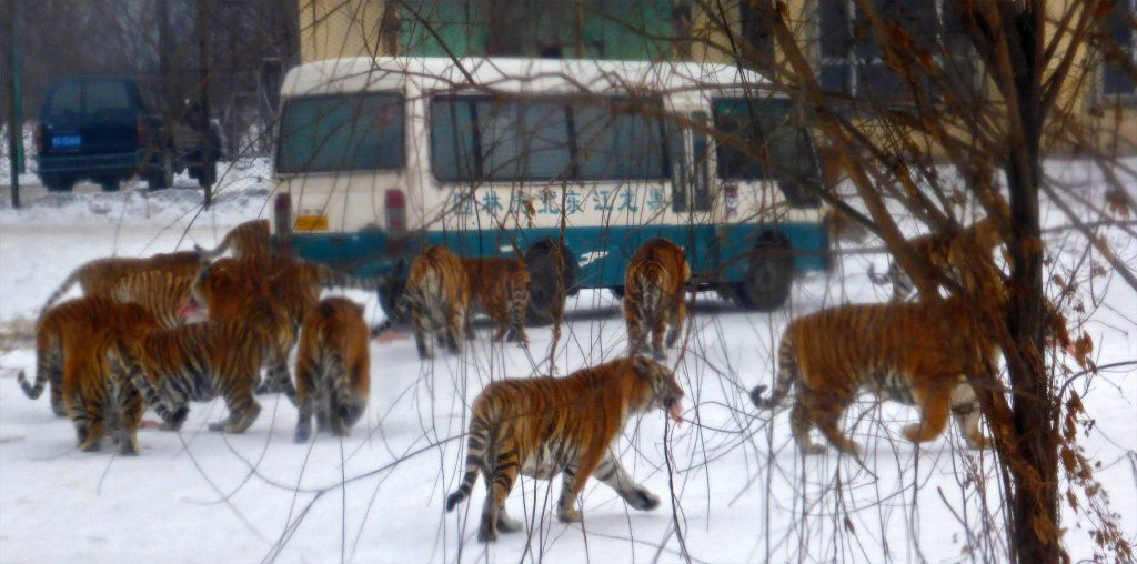 Tigers surrounding a tourist bus in Harbin's siberian tiger park. 东北虎林园
