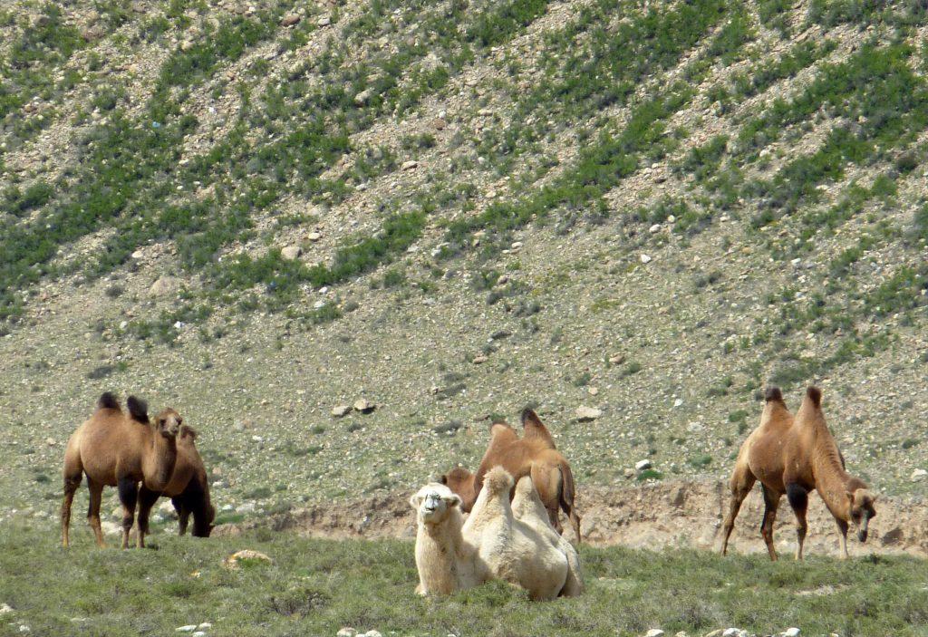 Camels Yinchuan to Bayan Khot