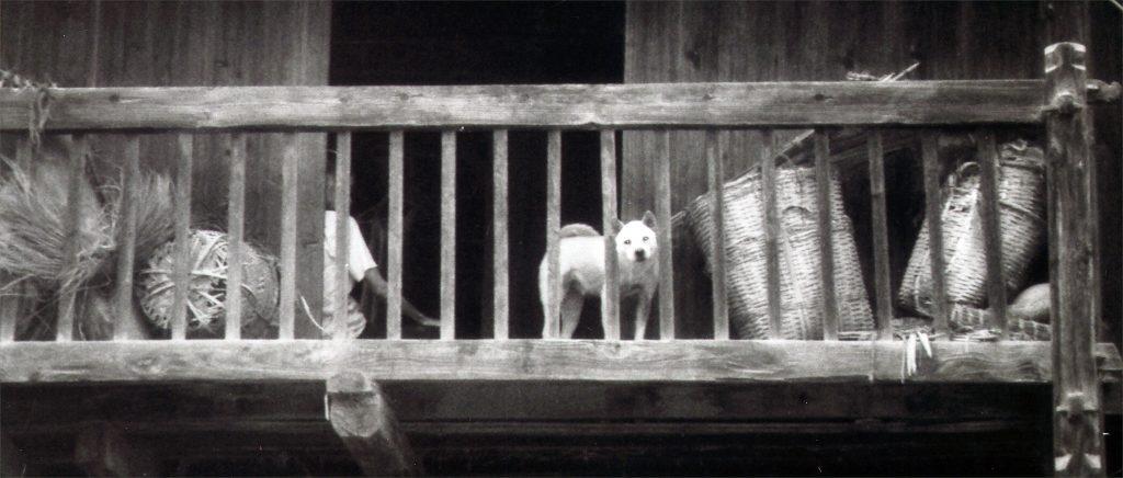 Zhaoxing dog on balcony