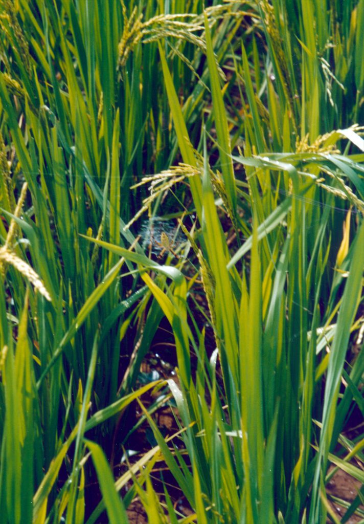Spiders in the Rice