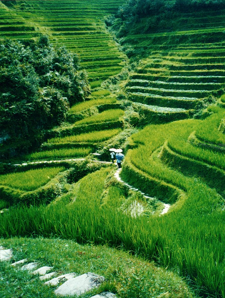 WALKING  IN THE RICE TERRACES